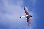 Spoonbill in flight, Everglades National Park