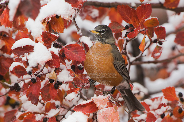 American Robin, Turdus migratorius, female in Black Hawthorn (Crataegus douglasii) fallcolors snow, Grand Teton NP,Wyoming, USA