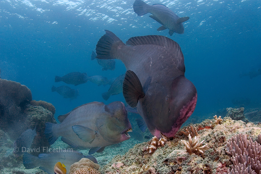 The bumphead parrotfish, Bolbornetopon muricatum, reach over 100 pounds gnawing live coral into powder and feeding on encrusting algae as well.  Sipidan Island, Malaysia.