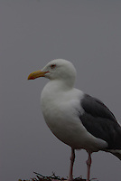 Great Black-backed Gull seen on the California coast on a fogy summer morning.