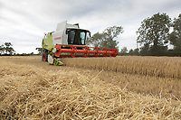 16.7.2020 Harvesting Winter barley in the Lincolnshire fens<br />  ©Tim Scrivener Photographer 07850 303986<br />      ....Covering Agriculture In The UK.