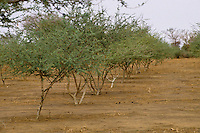 Gum Arabic.  Row of Acacia Senegal tree in a gum Arabic plantation, Niger, West Africa.