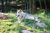 Wolf resting in small open field