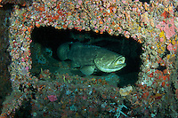 A Large Goliath Grouper Looking Out From a sunken ship. Palm Beach County Florida.