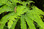 Maidenhair fern, Columbia River Gorge, Oregon