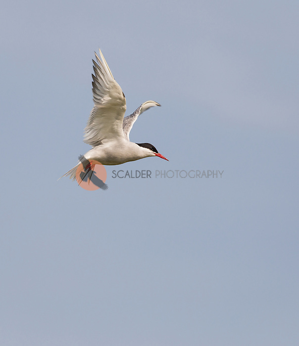 An Arctic Tern in flight with wings aloft, hovering against blue sky. Image is vertical