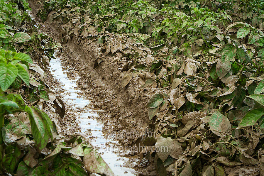 Muddy wet tramlines in a Melody potato crop - July, Lincolnshire