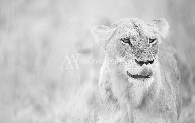 We saw a number of lions in Kruger National Park.<br /> <br /> This image is also available in color.