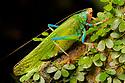 Katydid (Tettigoniidae), Manu Biosphere Reserve, Amazonia, Peru. November.