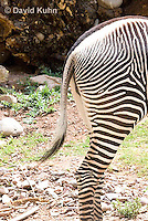 0608-1104  Grevy's Zebra (Imperial Zebra), Closeup of Hindquaters and Tail, Equus grevyi  © David Kuhn/Dwight Kuhn Photography