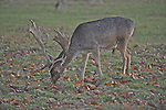 Fallow deer graze in Richmond Park, London England.