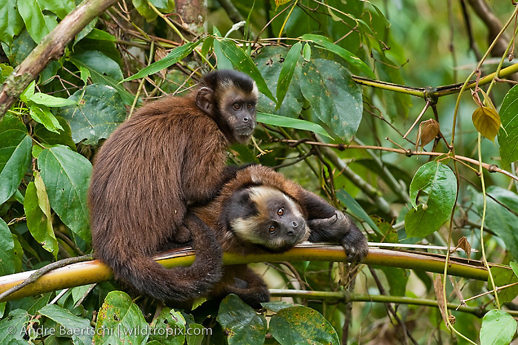 Brown Capuchin Monkeys (Cebus apella) grooming each other, lower montane rainforest, Manu National Park, Madre de Dios, Peru.