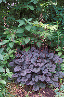 Heuchera Frosted Violet purple leaf foliage plant