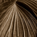 Fine art photography of sepia toned plants