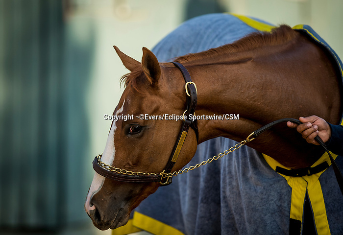 November 21, 2018: Chasing Yesterday cools out after a gallop at Santa Anita on November 21, 2018 in Del Mar, California. Evers/Eclipse Sportswire/CSM