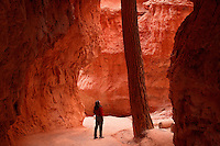 A visitor (model released) views a Douglas Fir on Wall Street, Navajo Loop Trail, Bryce National Park, Utah