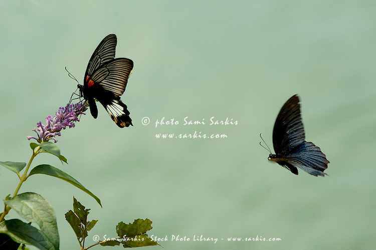 Male and female Great Mormon (Papillion Memnon) butterflies hovering over a wildflower.