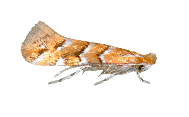 Horse Chestnut Leaf-miner - Cameraria ohridella<br /> 15.089 (0366a)