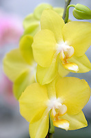 Oriental Orchid. Phal.Oriental, Lion. Oregon Coast Garden Center.