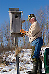 Man examines some bird eggs found while cleaning a wood duck (Aix sponsa) nest cavity (house).  Winter, WI.