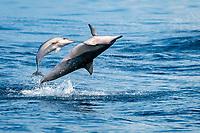 spinner dolphin, Stenella longirostris, mother, calf, jumping, leaping, Chichi-jima, Bonin Islands, Ogasawara Islands, UNESCO World Heritage Site, Japan, Pacific Ocean