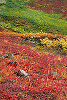 Colorful tundra, bearberry, dwarf birch, blueberry and autumn tundra, Denali National Park, Alaska.