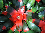 A popular bromeliad, Aechmea fasciata, Guzmania hybrid, Red green flower,