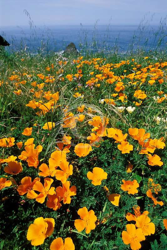 California, Mendocino County, California poppies, Navarro Bluff