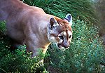 Mountain lion or cougar searching for food, Cougar, Mountain lion, Mt. Lion, Puma concolor, puma, pantther, felime, felinae, pantherinae, hunter-gatherers, Americas, solitary cat, Western Hemisphere, predator, Puma concolor, big cat, generalist predator, ambush predator, Fine Art Photography by Ron Bennett, Fine Art, Fine Art photography, Art Photography, Copyright RonBennettPhotography.com © Fine Art Photography by Ron Bennett, Fine Art, Fine Art photography, Art Photography, Copyright RonBennettPhotography.com ©