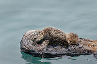 Sea Otter (Enhydra lutris) mom with young pup resting in sheltered bay on Prince William Sound, Alaska.