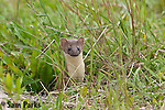 Long-tailed weasel. Snowy Range Mountains, Wyoming.