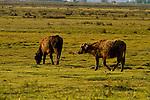 Wasserbüffel, water buffalo, Apetlon, Nationalpark Neusiedlersee, Seewinkel, Bezirk Neusiedl am See, Burgenland, Austria, Österreich.