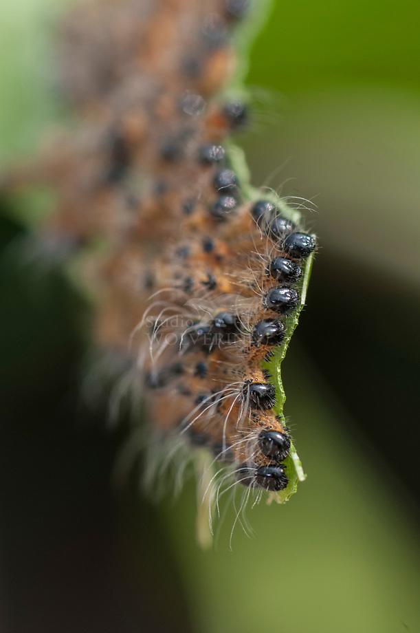 Wapendrager (Phalera bucephala), rupsjes