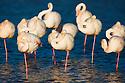 Greater Flamingos (Phoenicopterus roseus) in lagoon, Camargue, Rhone Delta, France