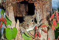 Cute baby gray squirrel, Sciuridae or Sciurus carolinensis,  pokes head out of nest in hollow tree framed by spring oak vine
