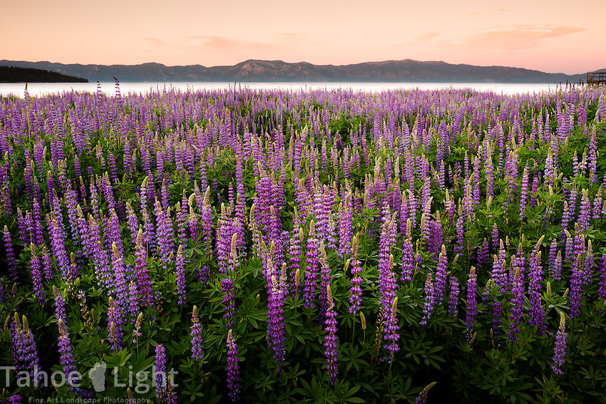Amazing Lupine wildflower fields at Lake Tahoe at sunset. Because of the drought and the lake's historically low water levels, what used to be underwater along Lake Tahoe's north shore is now covered in wildflowers.