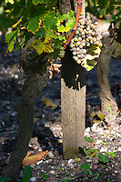 semillon vineyard chateau guiraud sauternes bordeaux france