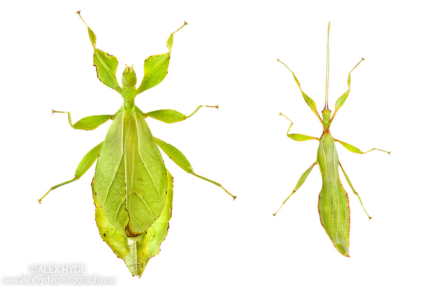Leaf Insects {Phyllium siccifolium} showing sexual dimorphism, female (left) male (right). This species displays excellent cryptic camouflage amongst the leaves on which it feeds. Captive. Distribution: West Malaysia. Digital Composite. website