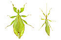 Leaf Insects {Phyllium siccifolium} showing sexual dimorphism, female (left) male (right). This species displays excellent cryptic camouflage amongst the leaves on which it feeds. Captive. Distribution: West Malaysia. Digital Composite.