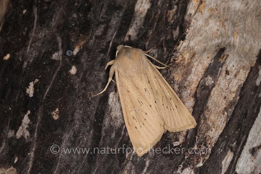 Schilfrohr-Wurzeleule, Rhizedra lutosa, large wainscot, Large Wainscot Moth, Isle of Wight wainscot. Eulenfalter, Noctuidae, noctuid moths, noctuid moth