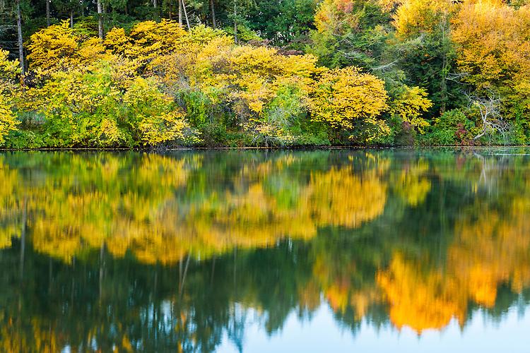 Sunsrise light on Redbud trees in fall color on Lake Marmo at The Morton Arboretum; Lisle, IL