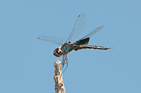 388520002 a wild male black saddlebags dragonfly tramea lacerata perches on a stick at hornsby bend travis county texas