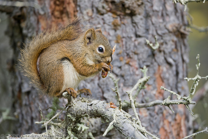 Red squirrel eats spruce cones, Katmai National Park, Alaska.