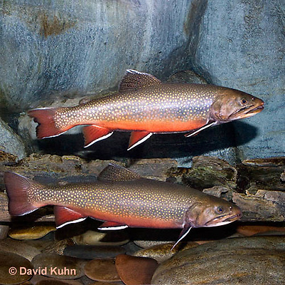 """1212-0901  Pair of Eastern Brook trout, Salvelinus fontinalis (formerly Salmo trutta fario) """"from New England, United States""""  © David Kuhn/Dwight Kuhn Photography"""