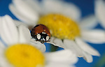 2 Spot Ladybird, Adalia bipunctata, red with black spots, on daisy, blue, yellow and white flower, two.United Kingdom....