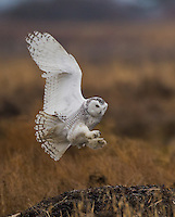 Snowy owl landing with legs outstretched and talons showing.<br /> Boundary Bay, Ladner, British Columbia, Canada<br /> 12/3/2011