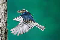 Eastern Bluebird, Sialia sialis,female in flight, Willacy County, Rio Grande Valley, Texas, USA, April 2004
