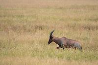 A Topi, Damaliscus lunatus jimela, walks through tall grass in Serengeti National Park, Tanzania