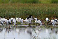Group of wood storks
