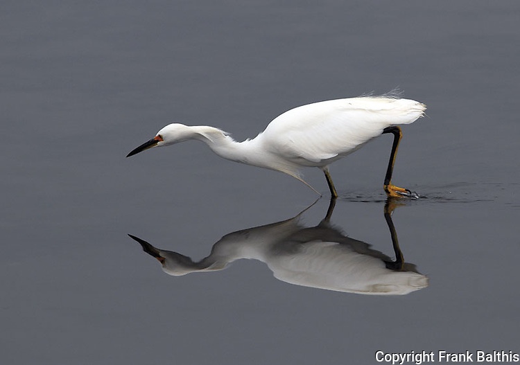Snowy egret stalking fish,  FB-S156